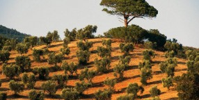 Olive trees in Capalbio, Tuscany, Italy
